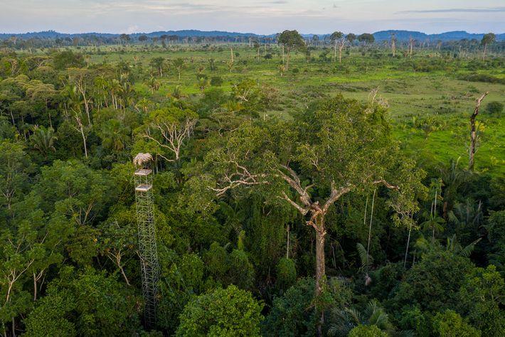 A floresta amazônica compõe mais de 90% do habitat restante ocupado pelos gaviões-reais, mas o corte ...