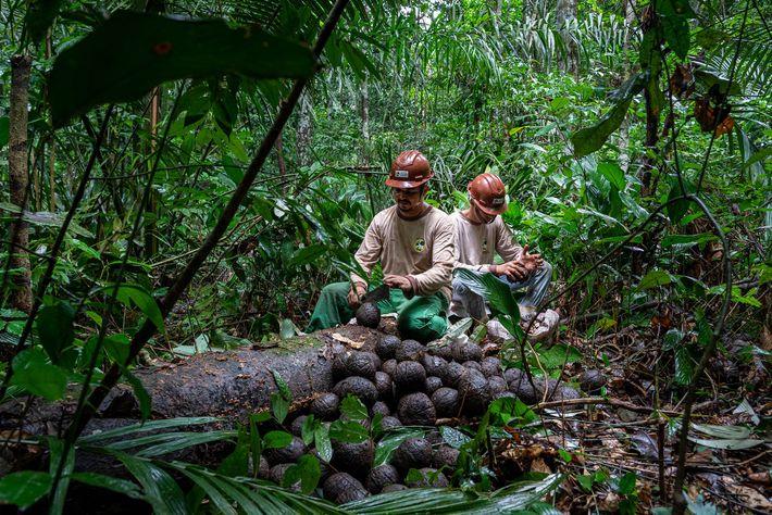 Os coletores de castanha-do-pará percorrem a floresta em busca de castanhas caídas, a base de uma ...