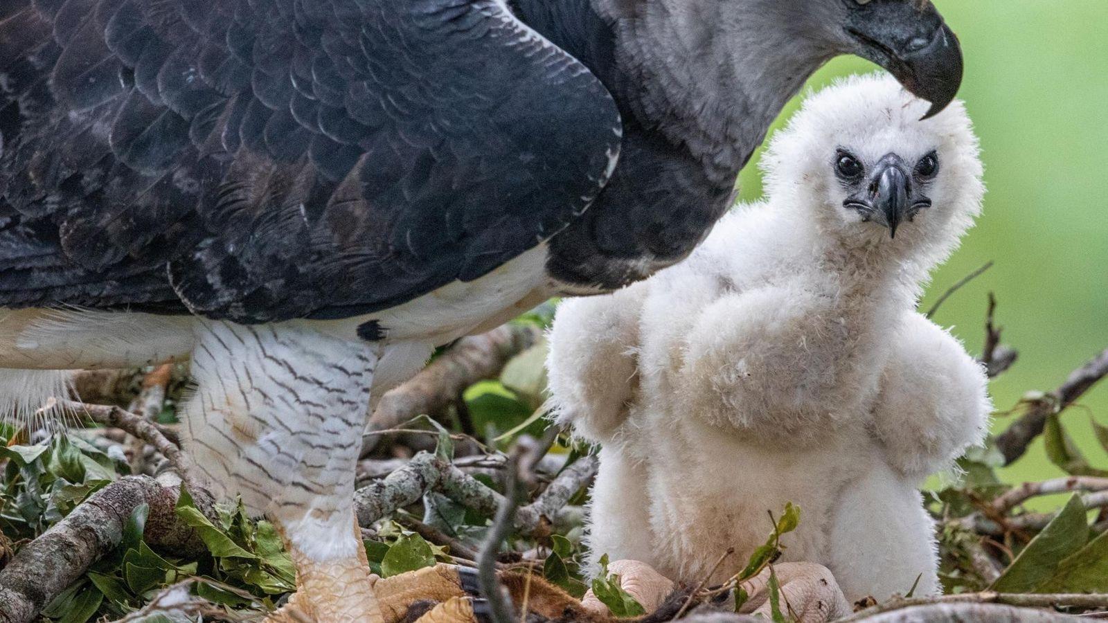 Os gaviões-reais são as maiores águias do mundo, pesam até 11 quilos e possuem garras maiores ...