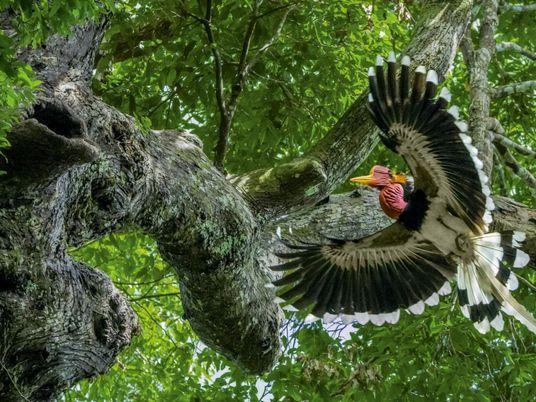 Por causa da carapaça, esta ave rara luta ara sobreviver