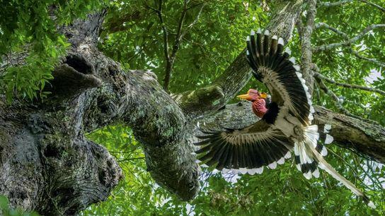 calau-de-capacete-floresta-tailandia