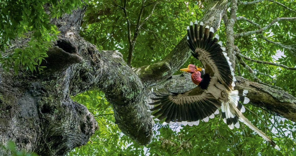 Em uma floresta no sul da Tailândia, um calau-de-capacete se aproxima de uma árvore onde sua ...