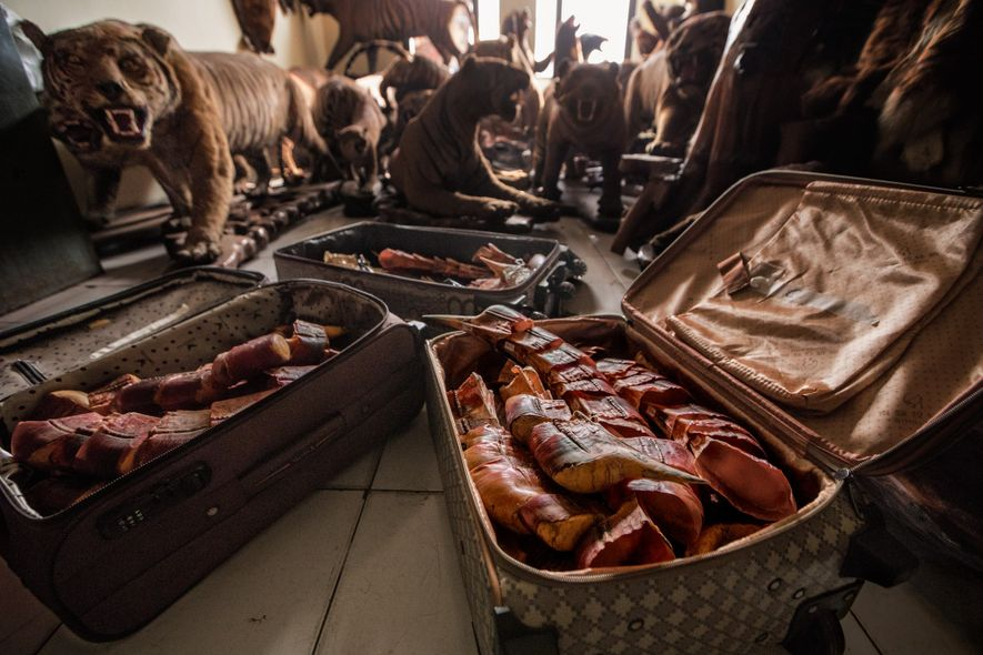 Cascos de calau-de-capacete, tigres empalhados e outros itens da fauna silvestre lotam a sala de uma ...