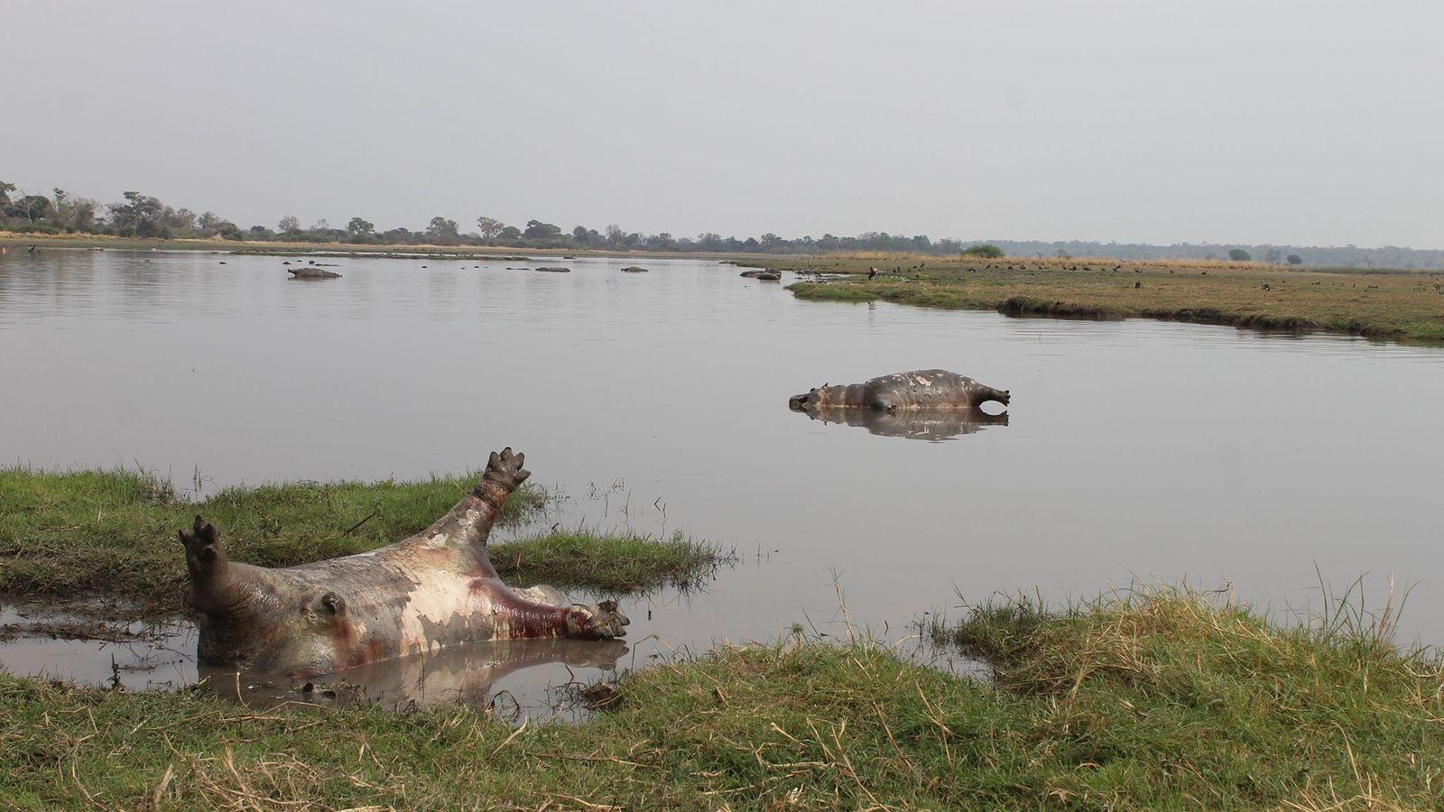 Carcaças de hipopótamos apareceram repentinamente na região do Parque Nacional Bwabwata, na Namíbia. Envenenamento por bactérias ...