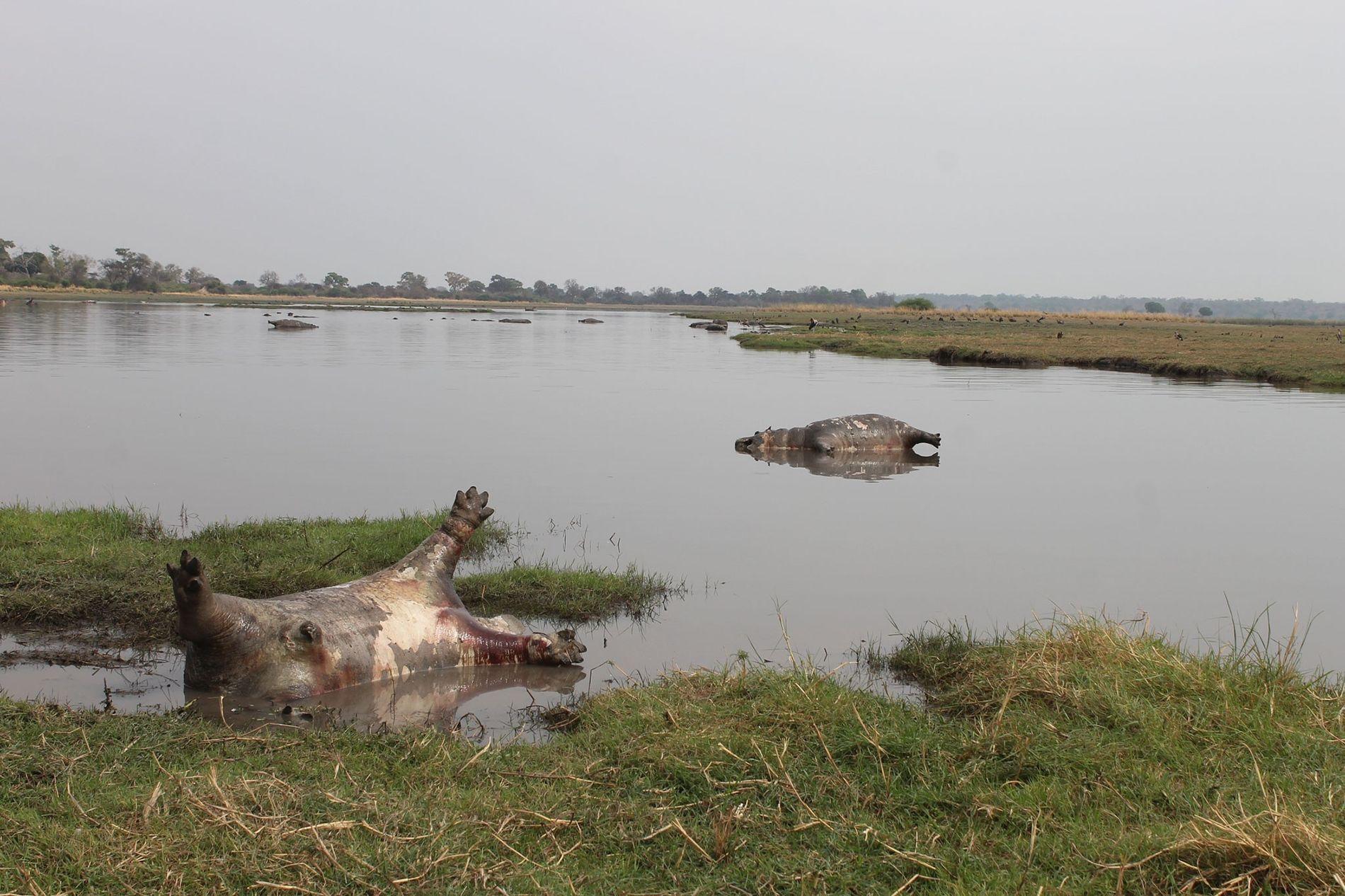 Carcaças de hipopótamos apareceram repentinamente na região do Parque Nacional Bwabwata, na Namíbia. Envenenamento por bactérias antraz é a causa mais provável.