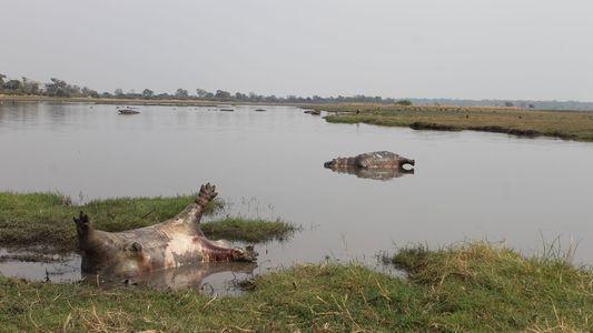 Antraz pode ter matado 100 hipopótamos na Namíbia