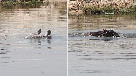 Veja o primeiro vídeo confirmado do que pode ser hipopótamos de luto