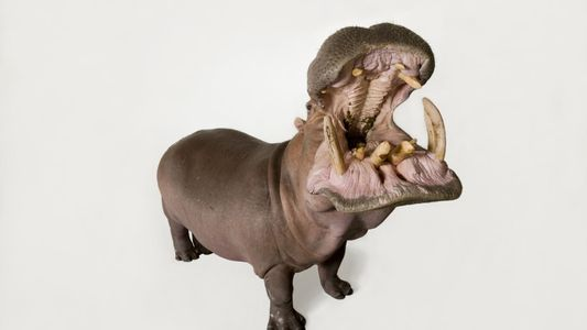 Saiba mais sobre os hipopótamos