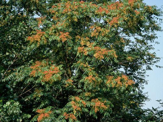 Árvore-do-céu é uma terrível espécie invasora. Um fungo poderia solucionar o problema?