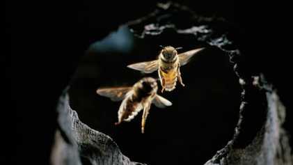 Abelhas usam ferramenta incomum para repelir ataques de vespas-gigantes