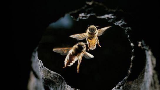 Abelhas-asiáticas desenvolveram uma série de artifícios para evitar ataques de vespas-gigantes.