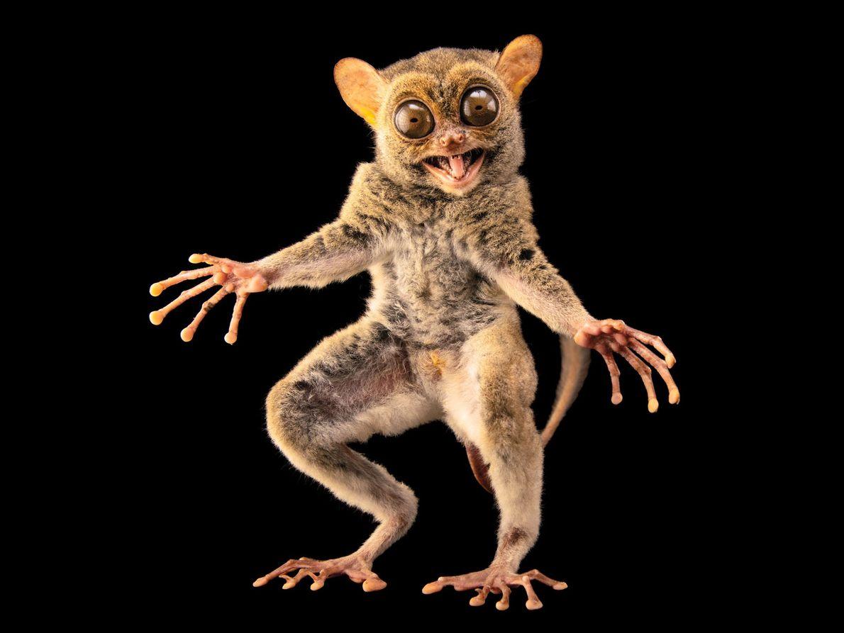 Primata társio da espécie Tarsius bancanus borneanus (vulnerável)