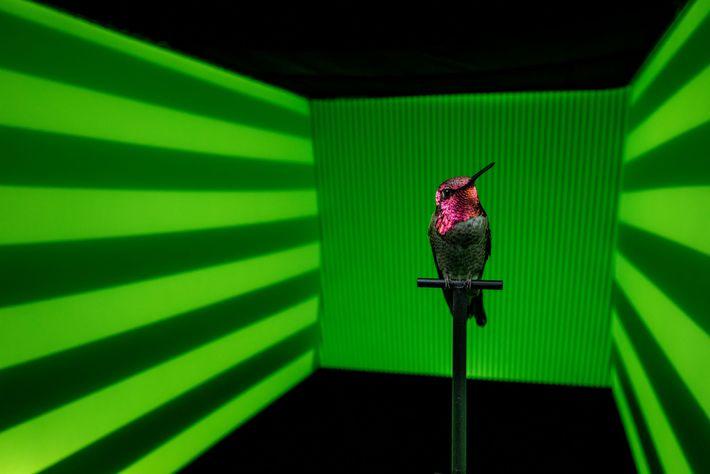 Ao registrar a trajetória e a velocidade deste beija-flor-de-anna enquanto ele voa diante de diferentes cores ...