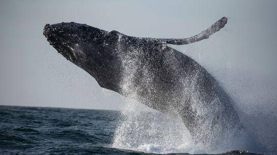 Uma baleia-jubarte surge nas águas mornas da Baía de Monterey, na Califórnia, EUA.