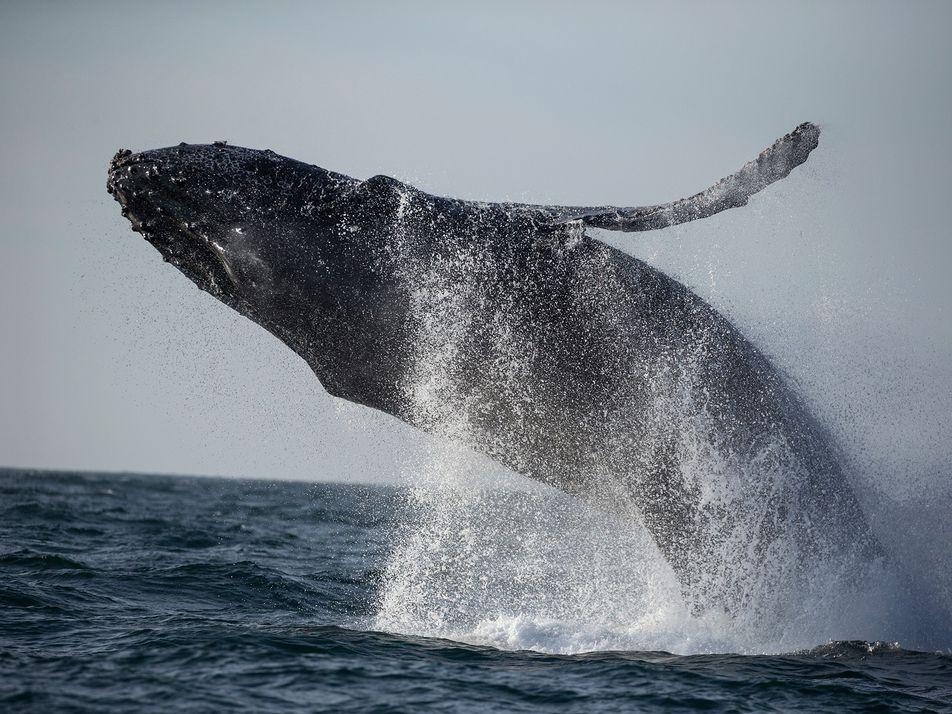Mares mais calmos devido à pandemia podem reduzir estresse e melhorar saúde das baleias