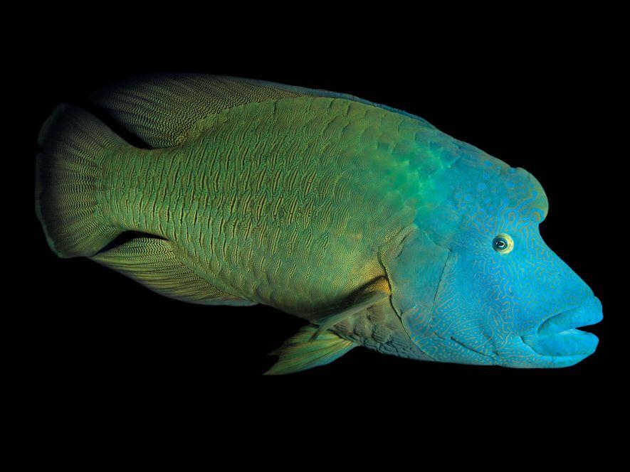 Peixe-napoleão, Cheilinus undulatus (ameaçado).