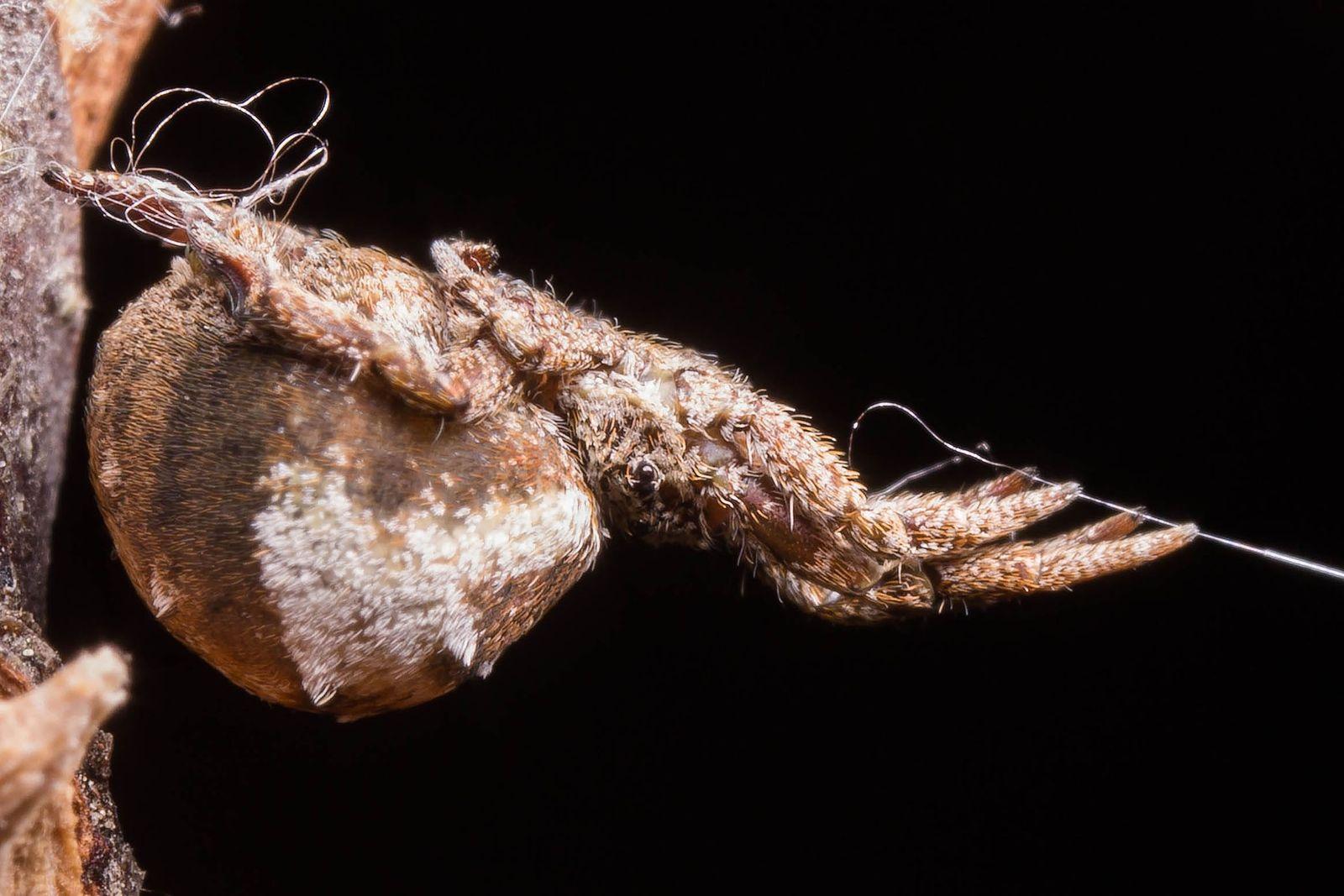 Em uma experiência de laboratório, a Hyptiotes cavatus segura firme a teia, ficando o fio de ...