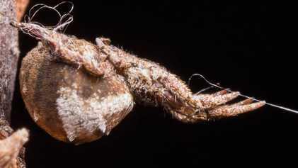 Esta aranha acelera mais rápido do que um foguete