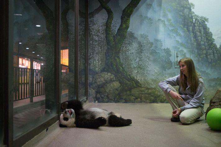 Os cuidadores de animais do Zoológico Nacional começam a adestrar filhotes de pandas-gigantes com cerca de ...