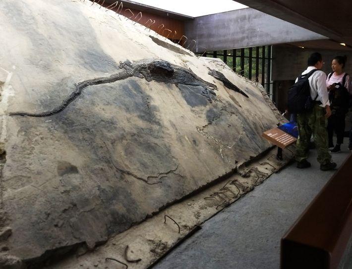 Esta imagem mostra o espécime de ictiossauro com seu conteúdo estomacal visível como um bloco que ...