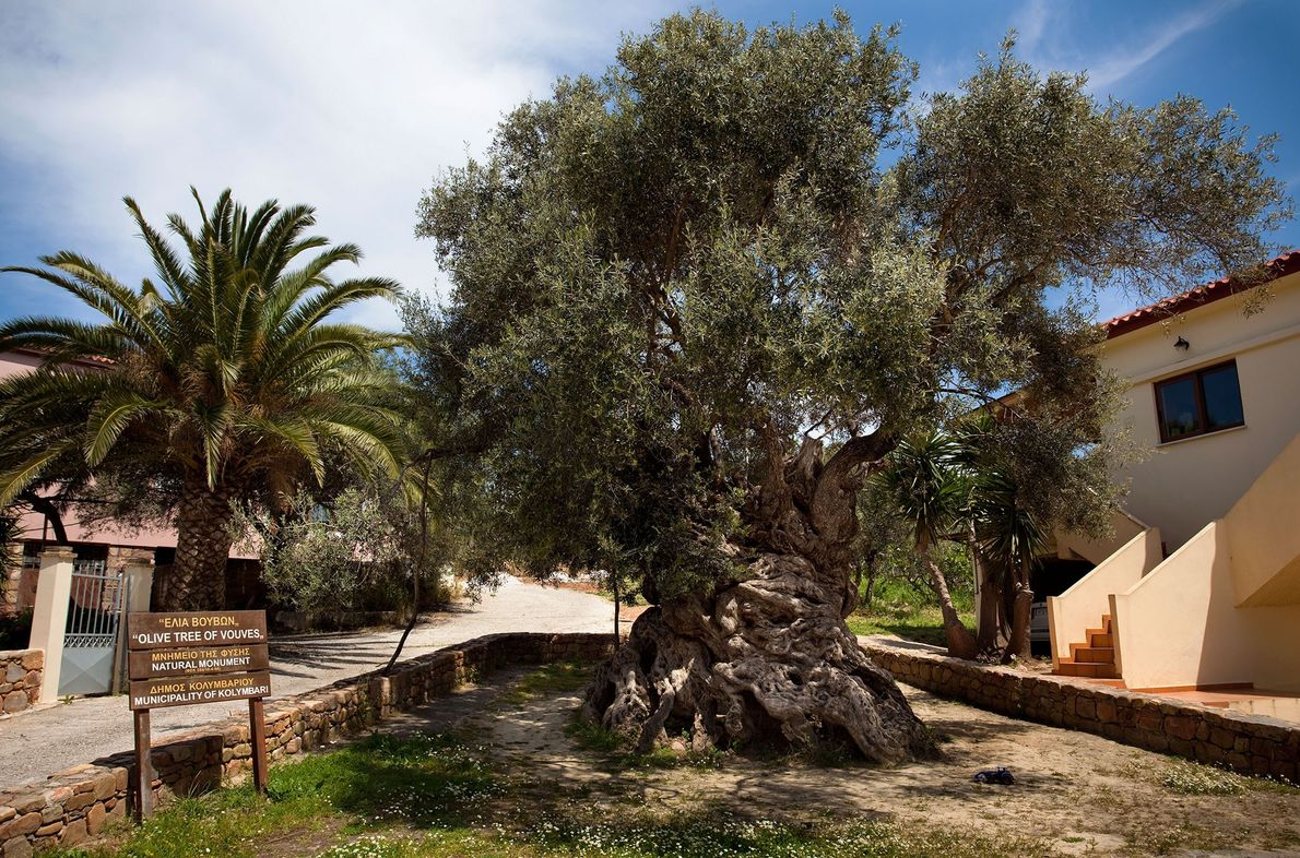 Olive Tree of Vouves: Crete, Greece