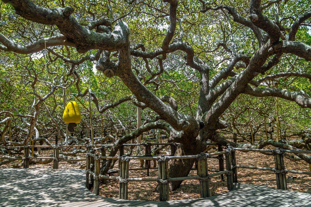 Cashew Tree: Pirangi do Norte, Brazil