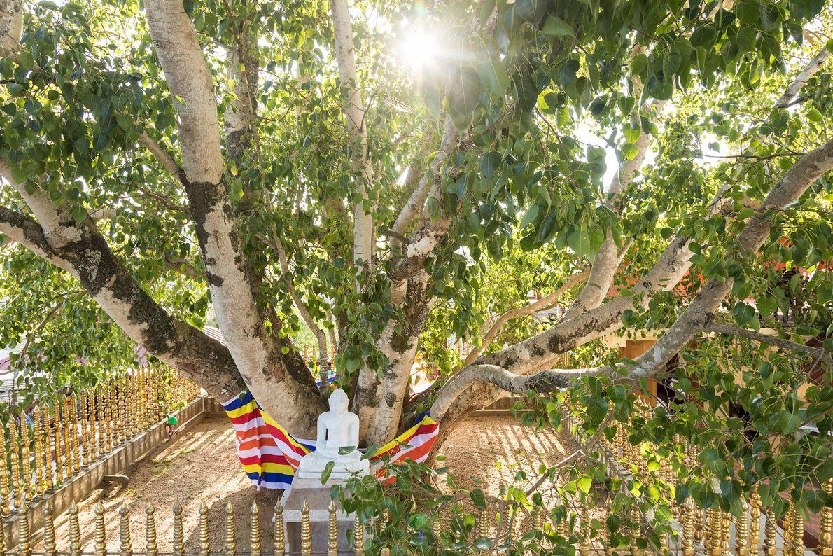 Jaya Sri Maha Bodhi: Anuradhapura, Sri Lanka