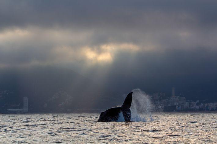 Um número cada vez maior de jubartes tem passado próximo a costa do Rio de Janeiro. ...