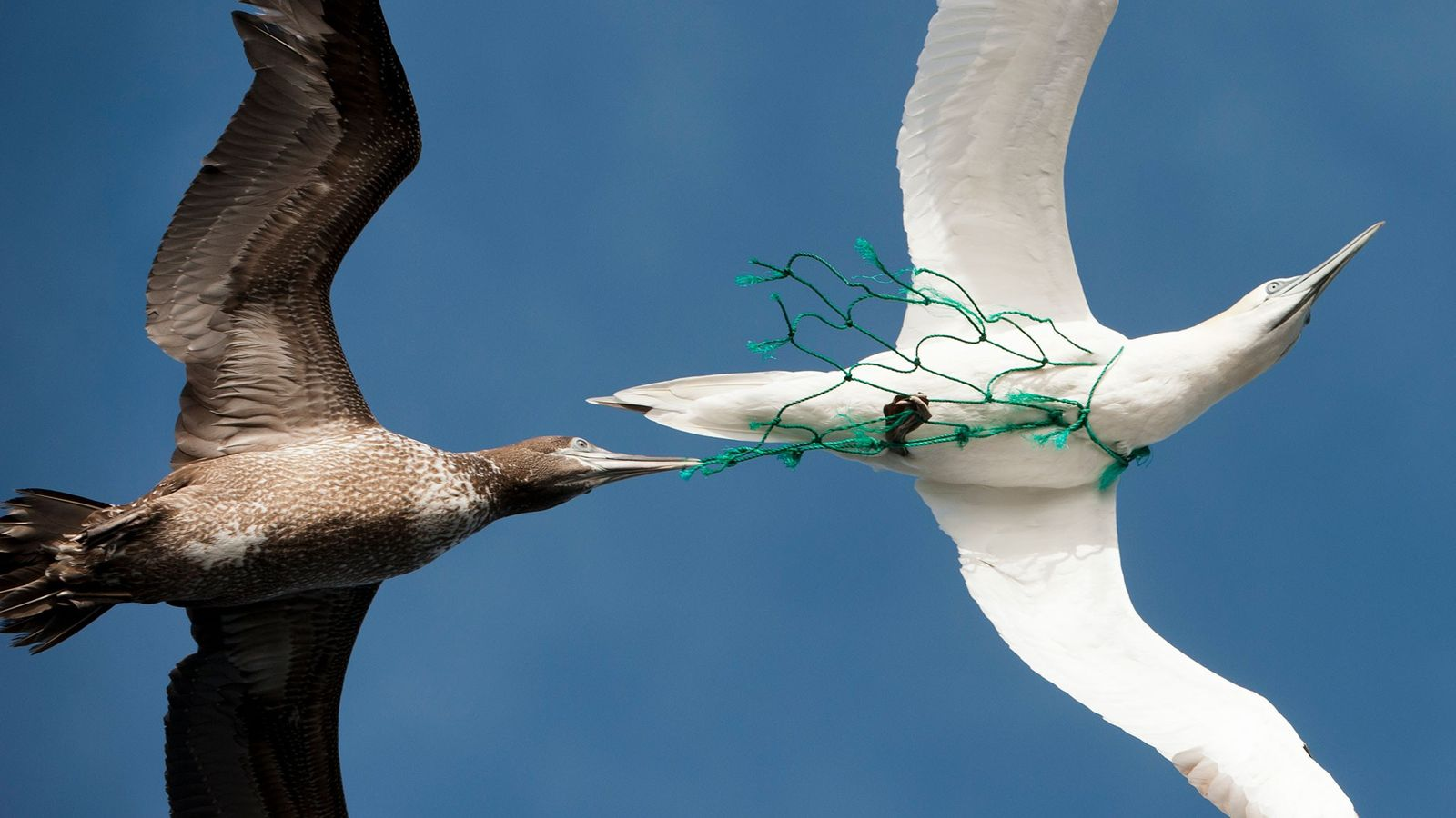 Pássaros marinhos como este são suscetíveis a ficarem presos em redes de pesca. Um novo artigo ...