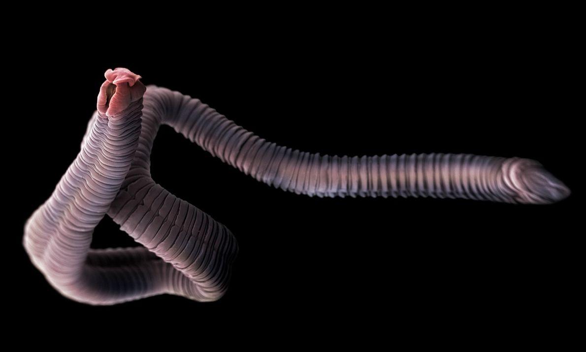 Ténias são parasitas que habitam o intestino de humanos e animais, inclusive de diversos peixes. Elas ...