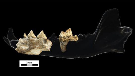 Estes fragmentos de dentes e mandíbula de 1,8 milhão de anos, encontrados no sítio arqueológico de ...