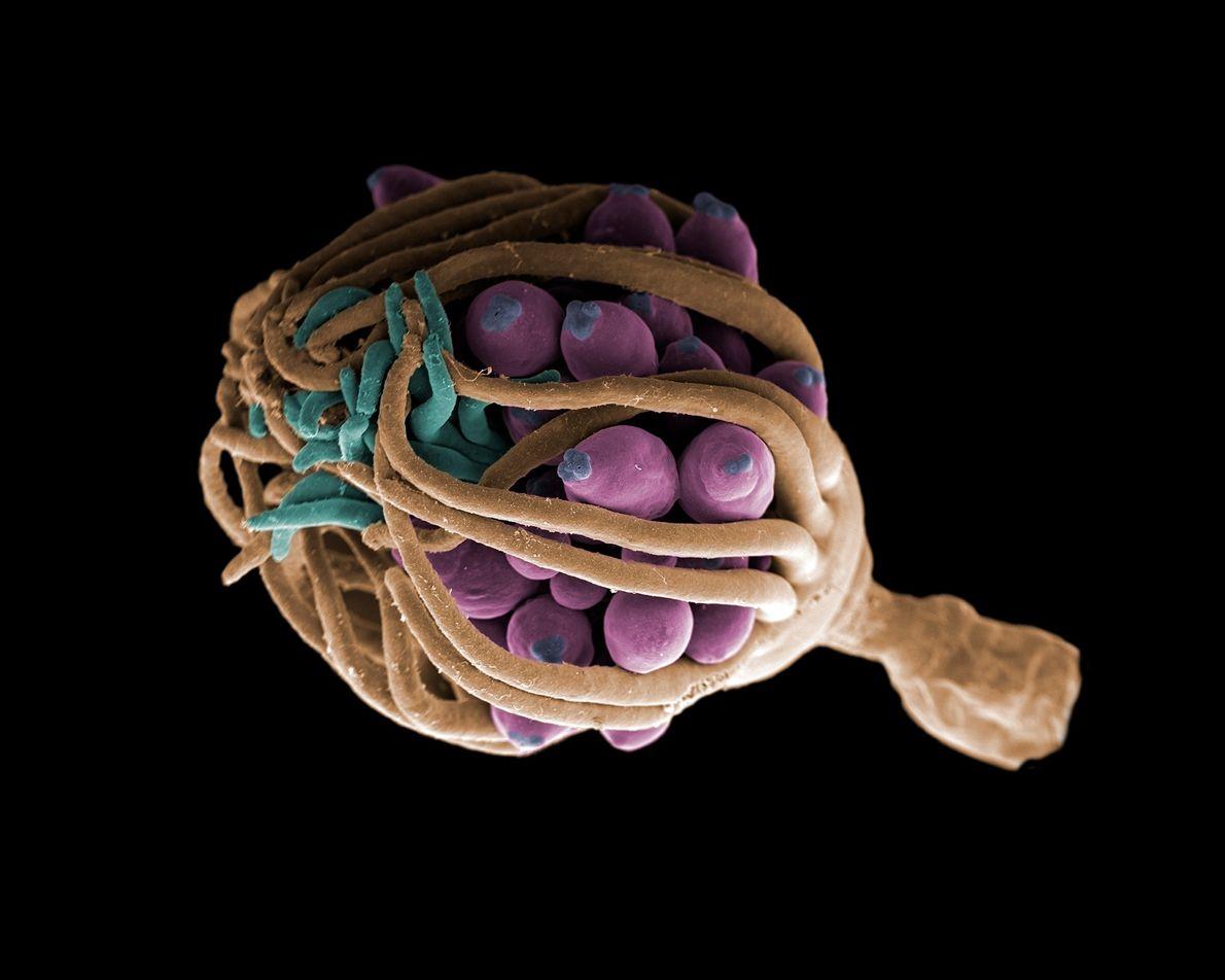 Nesta imagem, um hidróide utiliza seus tentáculos para proteger suas estruturas sexuais, chamadas gonóforos, de ameaças ...