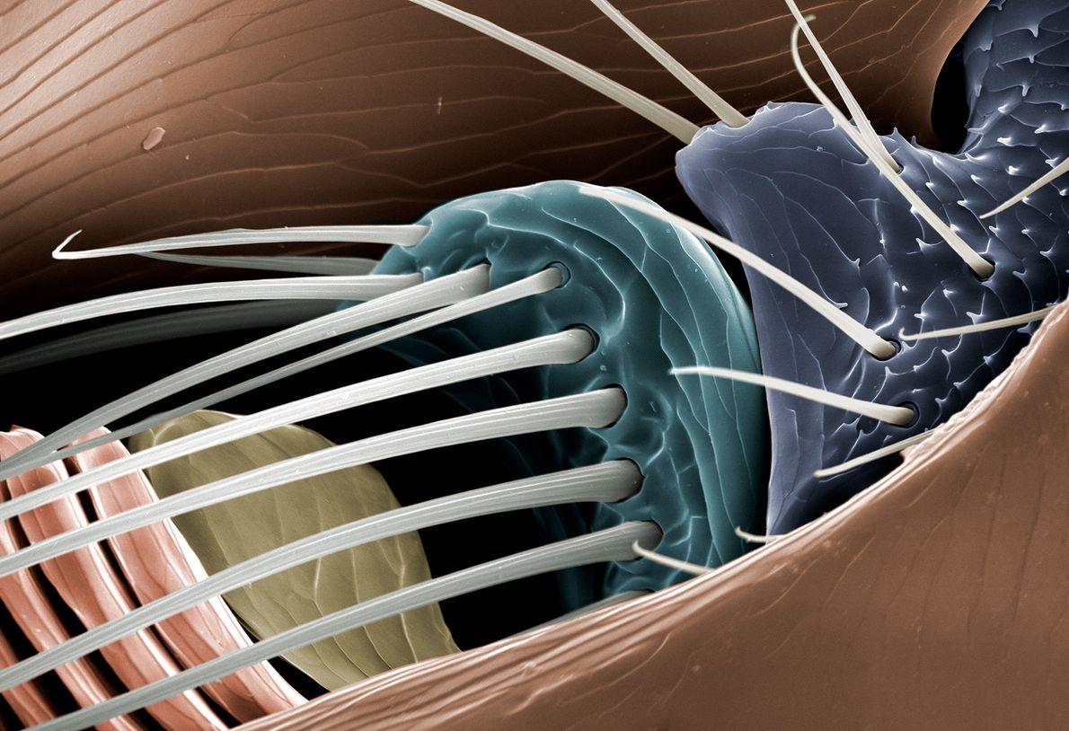 """Esta imagem em detalhes de uma pulga revela uma das duas antenas do parasita, que """"desempenha ..."""