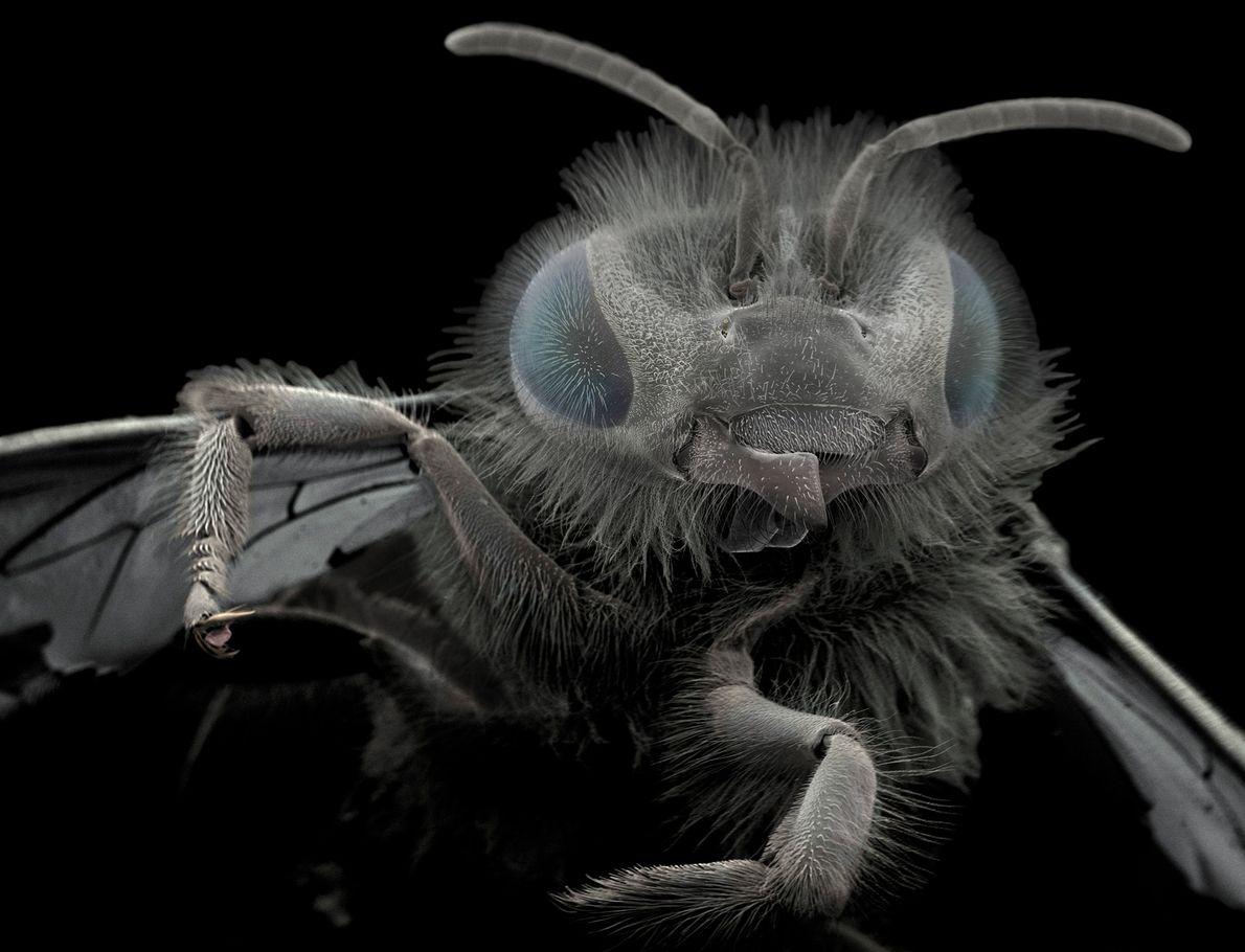 Wiik-Nielsen encontrou essa abelha em seu jardim. As estruturas na base de sua cabeça são chamadas ...