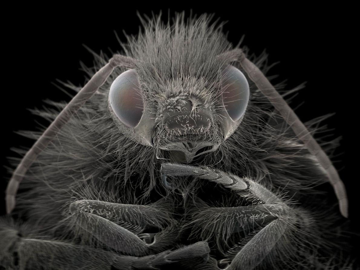 """As mangavas """"são polinizadores importantes na agricultura"""", diz Wiik-Nielsen. O inseto exibido aqui é ampliado cerca ..."""