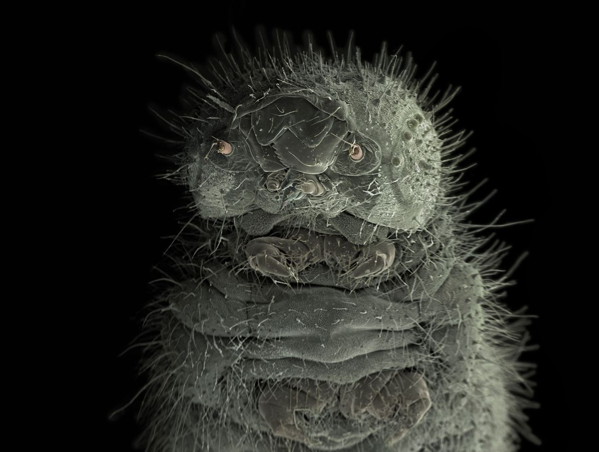 Wiik-Nielsen encontrou esta lagarta, ampliada cerca de cem vezes, se alimentando de brócolis em seu jardim.