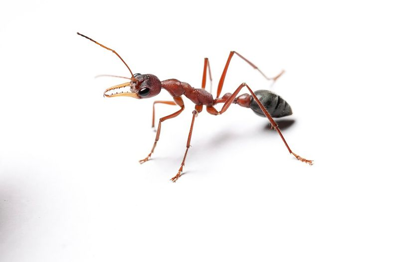 foto de formiga australiana venenosa