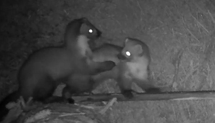 Câmera filma duas martas brigando por comida