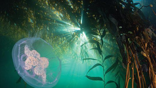 Uma medusa move-se entre um bosque de algas gigantes perto do Cabo Horn. Os bosques de ...
