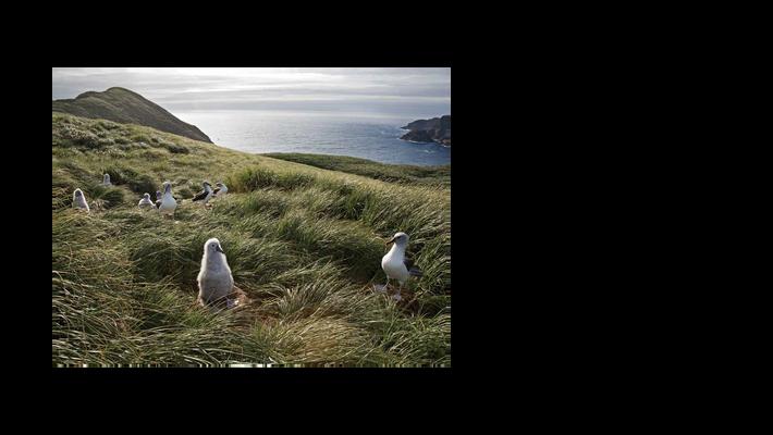 albatrozes-de-cabeça-cinza Thalassarche chrysostoma