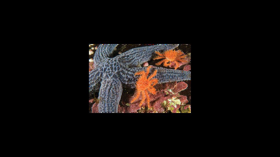 Santolas e estrelas do mar