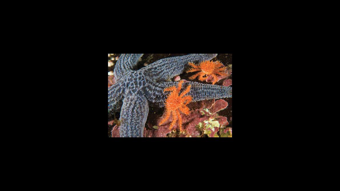 Santolas-chilenas juvenis (Lithodes santolla) escalam uma estrela-do-mar (Cosmasterias lurida) ao largo da Ilha Herschel, nas cercanias …