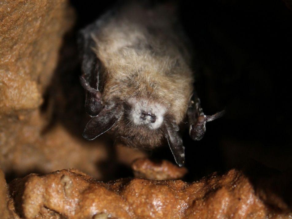 Síndrome do nariz branco devasta morcegos – mas alguns estão desenvolvendo imunidade