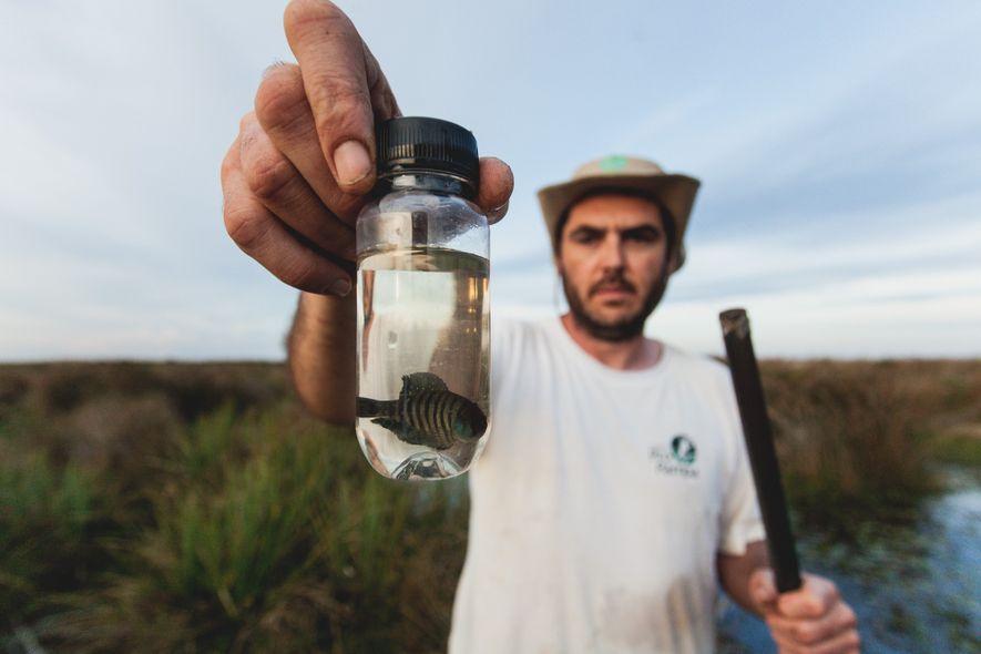 """O pesquisador Matheus Volcan segura um """"Austrolebias charrua"""" encontrado na Estação Ecológica do Taim. O bichino ..."""
