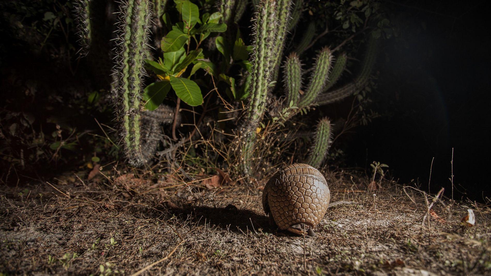 Pressionado pela perda de habitat e caça predatória, o tatu-bola-da-caatinga está em perigo de extinção na categoria vulnerável. O nome vem do formato que ele assume ao se sentir ameaçado.
