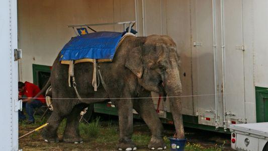 Elefantes de zoológicos de beira de estrada sofreram por anos antes de morrer