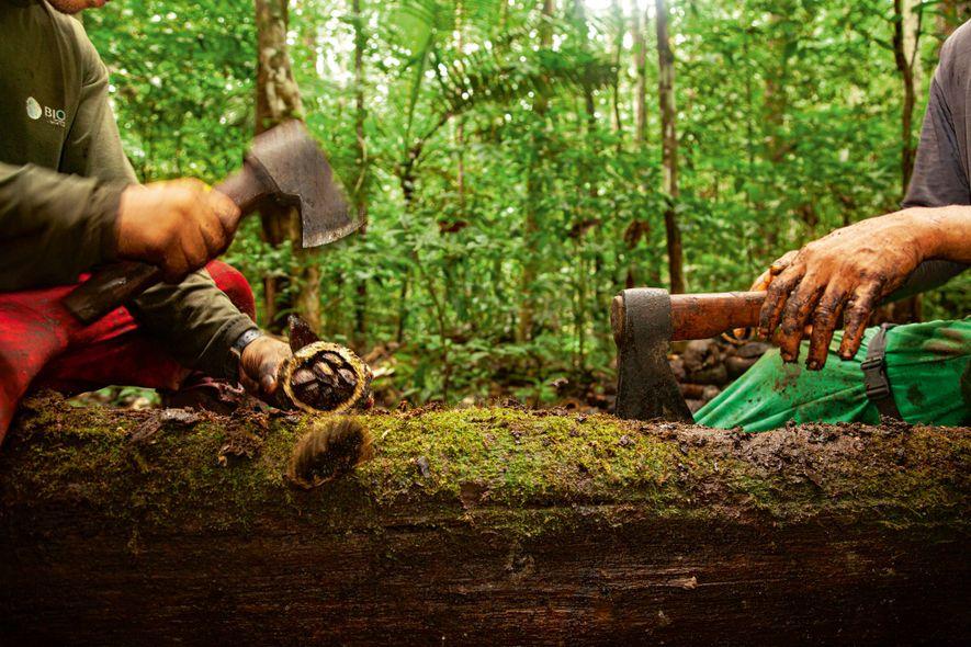 As castanhas são extraídas dos ouriços com machados.