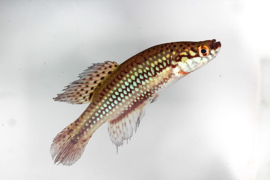 Peixe-anual da espécie Cynopoecilus melanotaenia. O colorido dos peixes-anuais e a facilidade de se transportar ovos ...