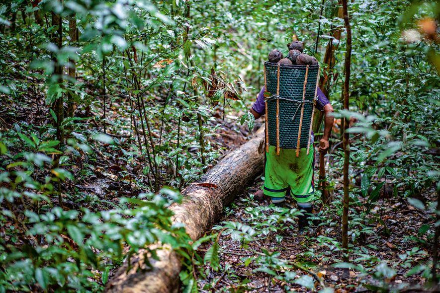 O coletor segue com o cesto cheio de ouriços. A relação humana com as gigantescas árvores ...