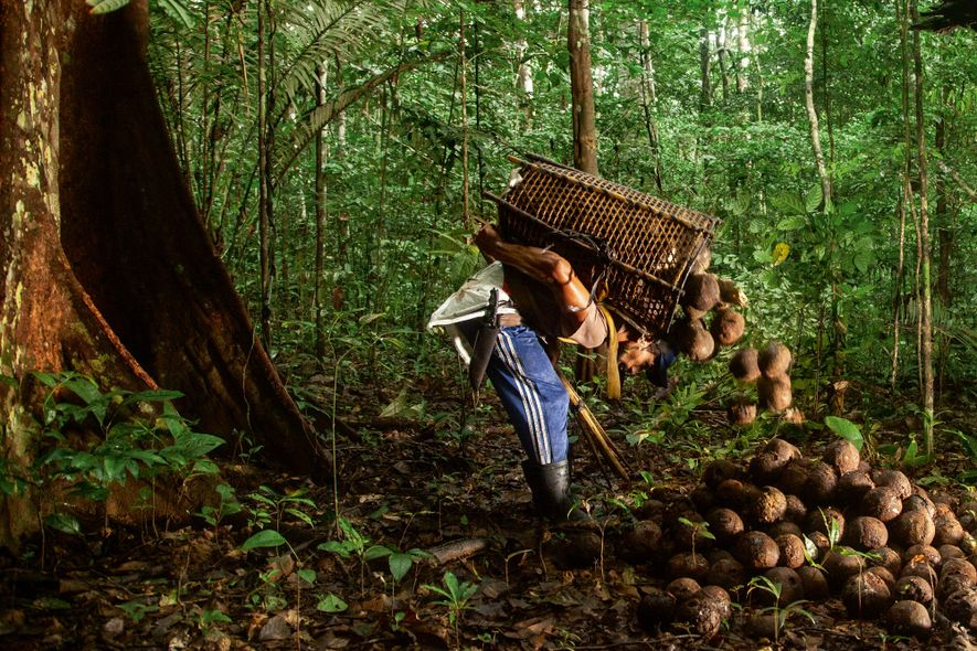 Coleta da castanha resiste em integração ancestral com a floresta amazônica